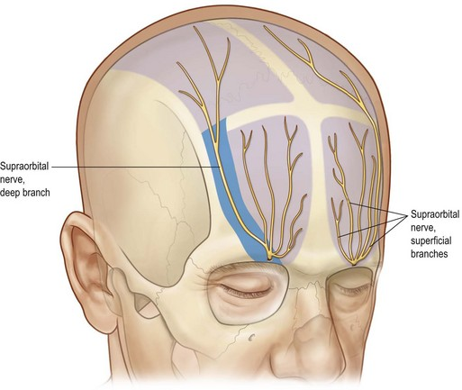 Supratrochlear Nerve Related Keywords - Supratrochlear ...