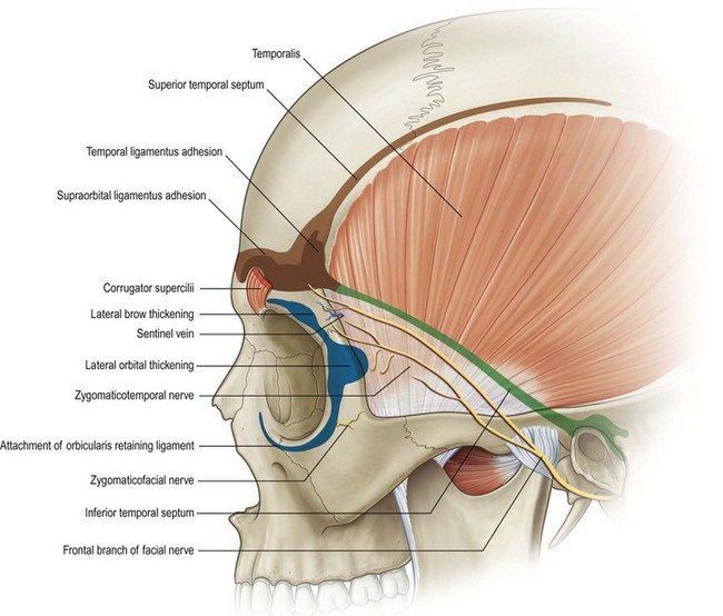 Anatomy of the head and neck | Plastic Surgery Key