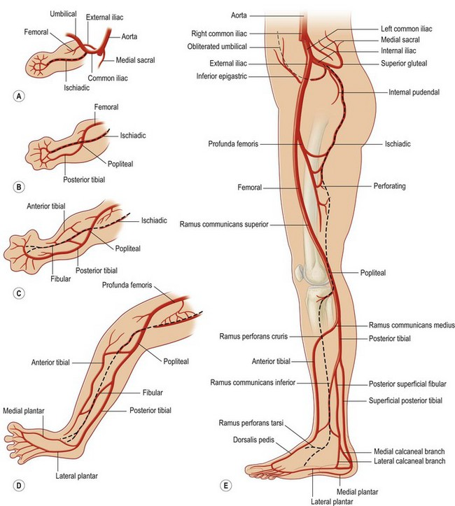 Comprehensive Lower Extremity Anatomy Plastic Surgery Key