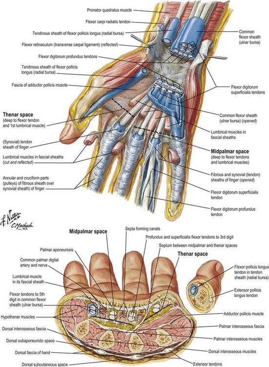Anatomy and biomechanics of the hand   Plastic Surgery Key