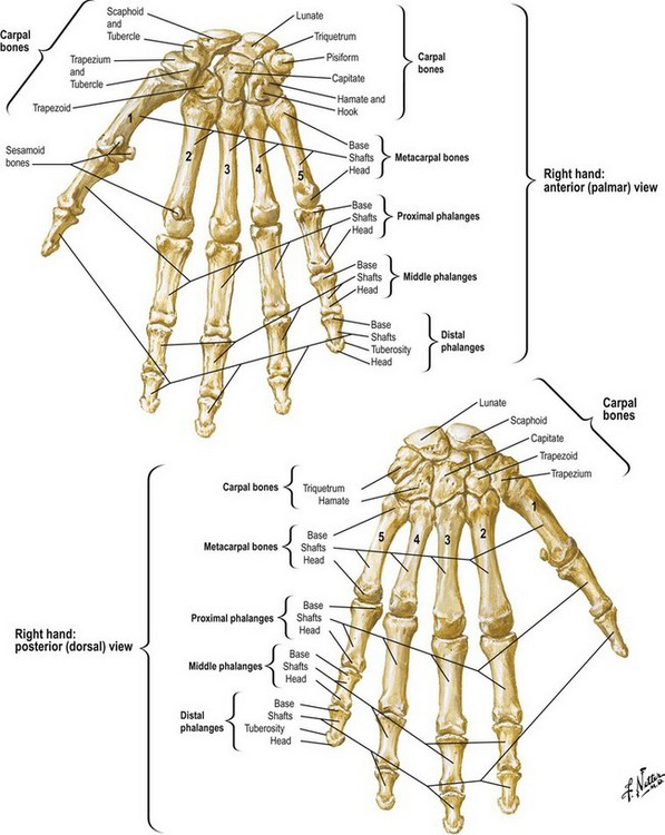Anatomy And Biomechanics Of The Hand Plastic Surgery Key