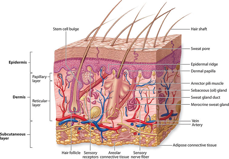 Anatomy And Physiology Of The Integumentary System on Activities Of Daily Living Worksheet