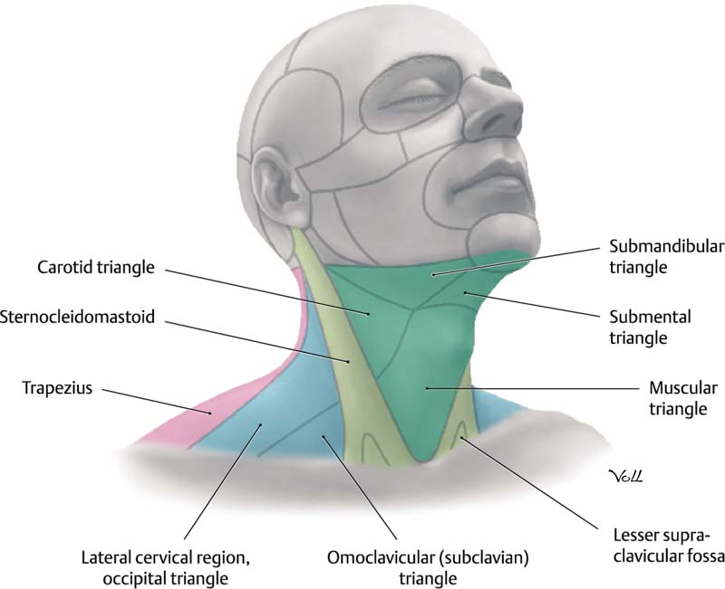 The Anatomy and Physiology of the Neck | Plastic Surgery Key