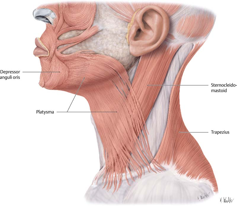 the anatomy and physiology of the neck | plastic surgery key, Skeleton