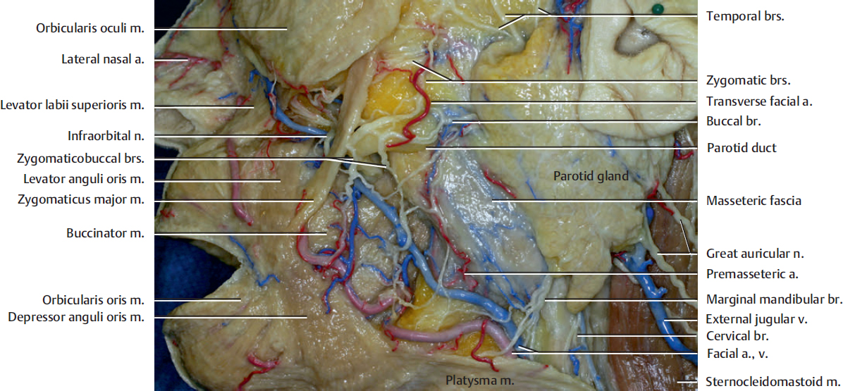 Superficial Structures In The Midfacial Region Plastic Surgery Key
