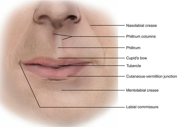 Oral Fissure and Lips | SpringerLink |External Lip Anatomy