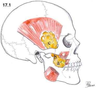 Buccal mucosa anatomy