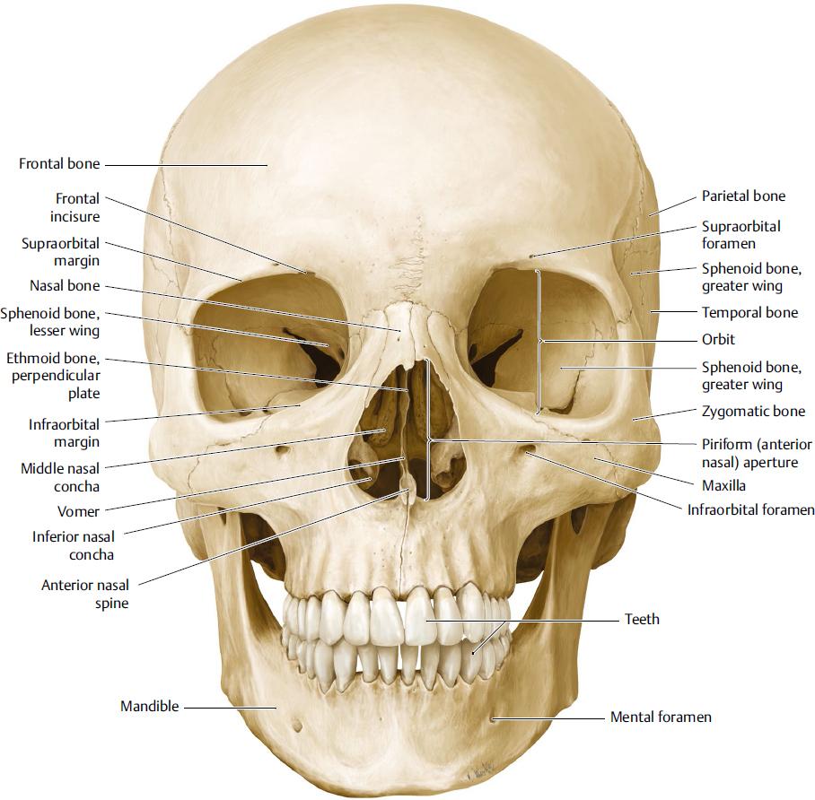 Facial bones anatomy