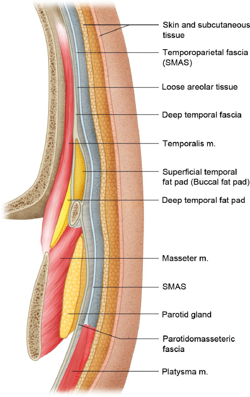 Soft Tissue of the Scalp and Temporal Regions | Plastic Surgery Key