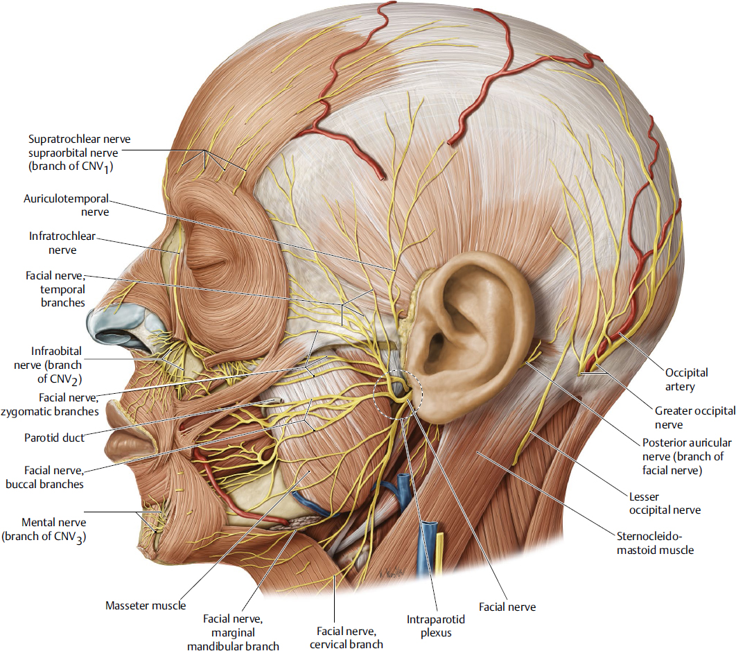 Peripheral Branches Of The Facial Nerve Plastic Surgery Key