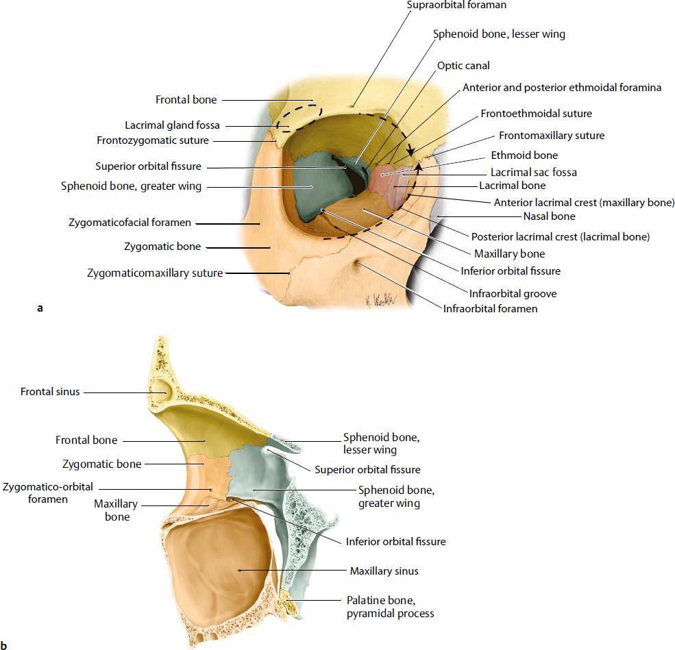 Skull base : Development and anatomy. Ophthalmic Vein ...