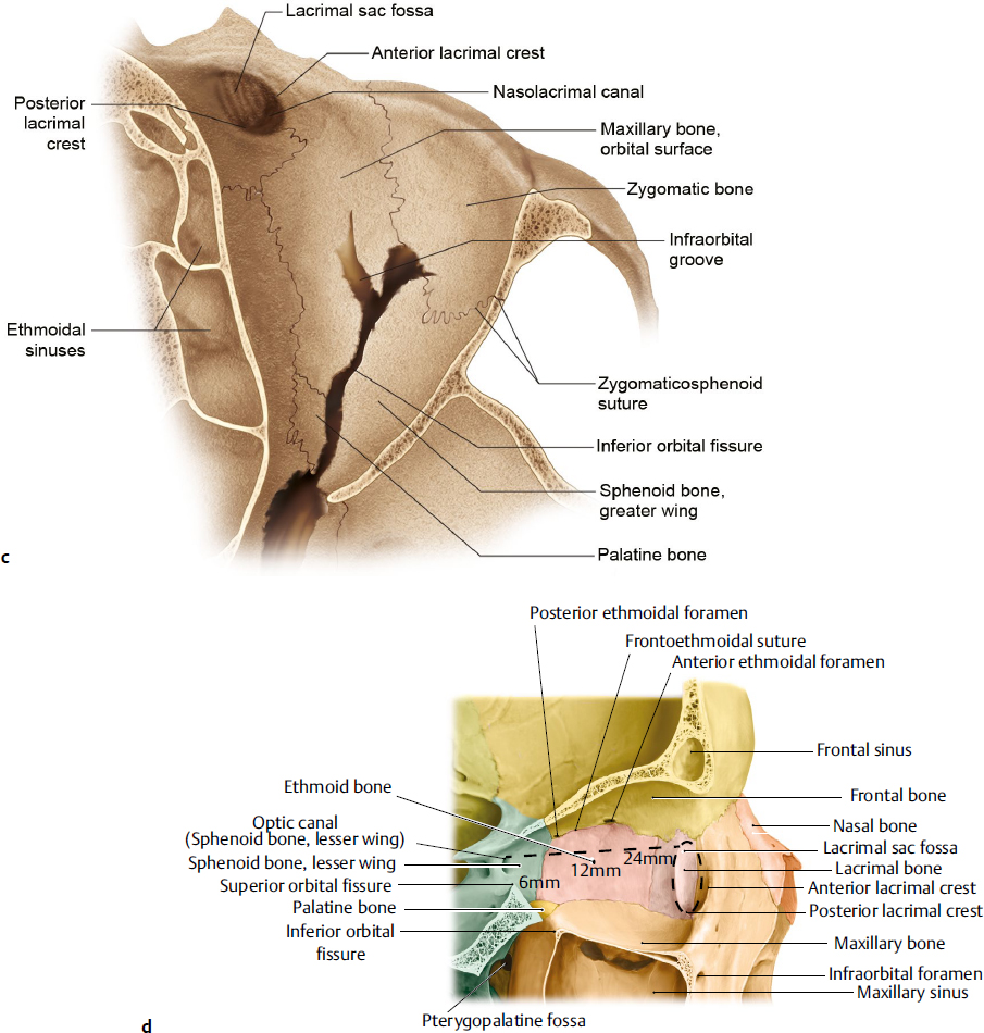 Orbital Anatomy | Plastic Surgery Key
