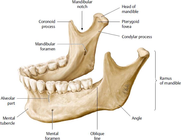 Mandible and Masticatory Muscles | Plastic Surgery Key