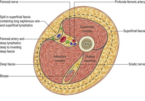 Anatomy of upper thigh