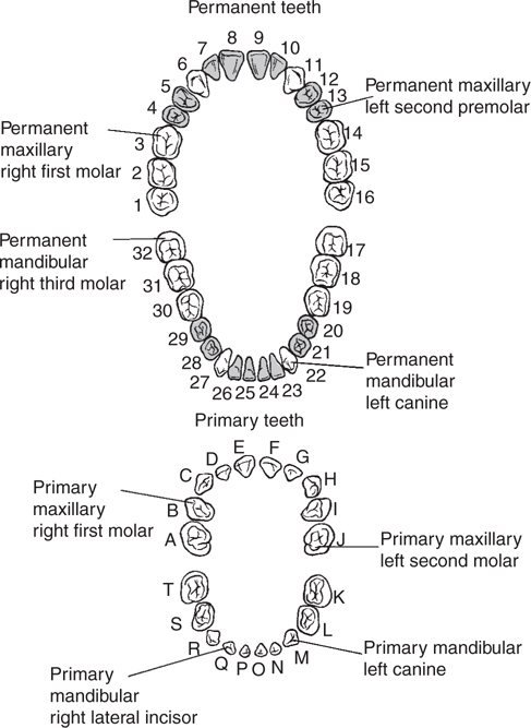 Dental Anatomy And Occlusion Plastic Surgery Key