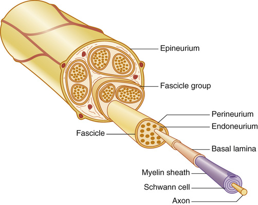 Anatomy of peripheral nerve