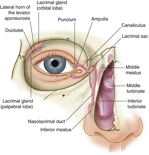 Ball sac anatomy