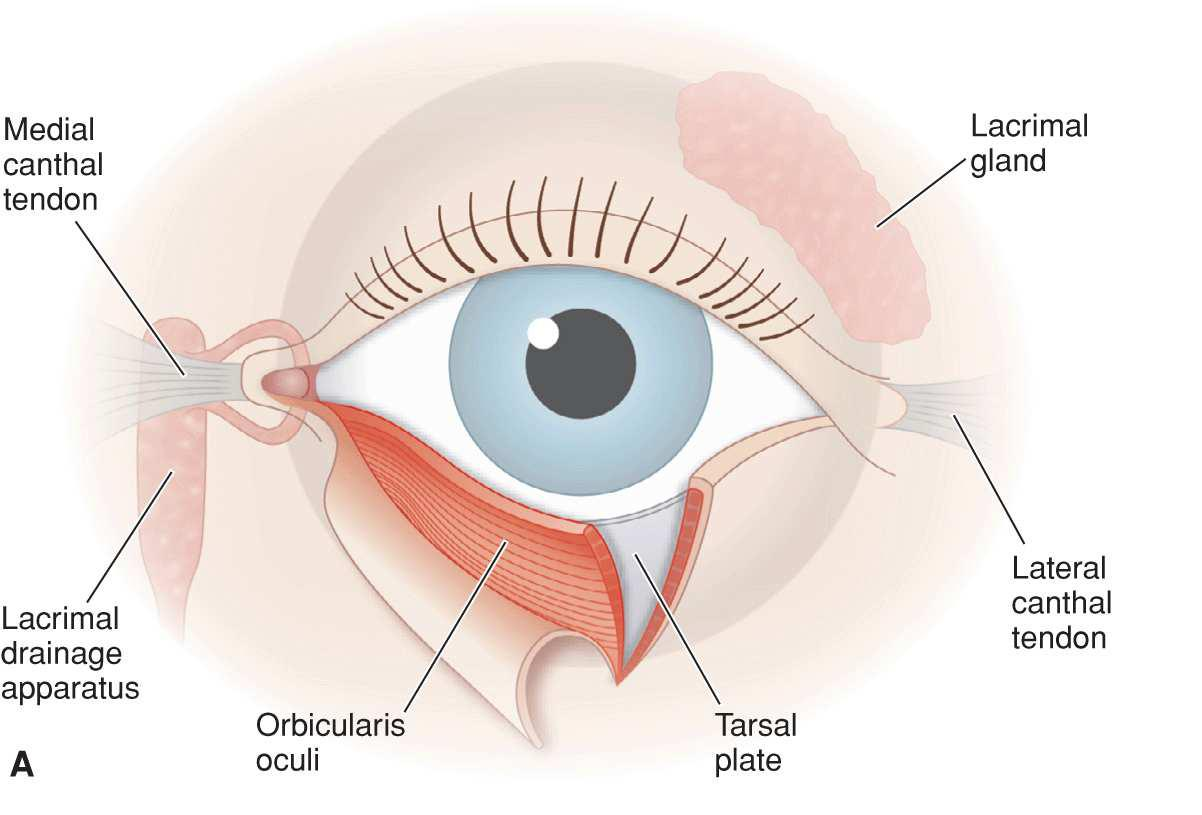 Anatomy of the eyelid