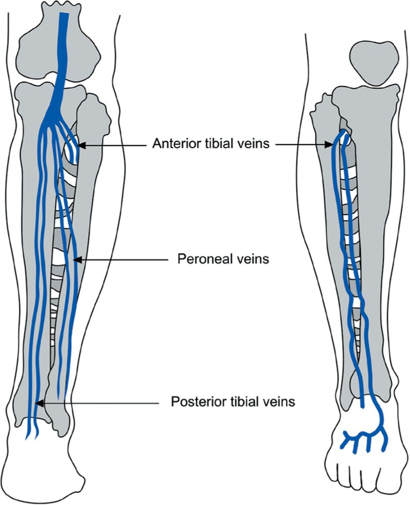 Venous anatomy leg