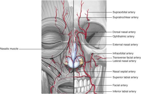 Vascularity: Arterial Supply | Plastic Surgery Key  Vascularity: Ar...