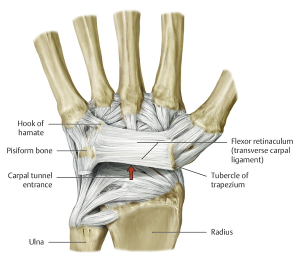 Anatomy and Functional Anatomy of the Hand | Plastic Surgery Key